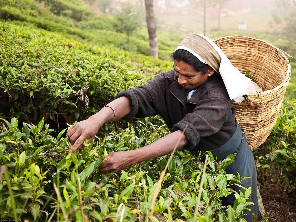 Как выращивают цейлонский чай и все его разновидности с характеристиками.