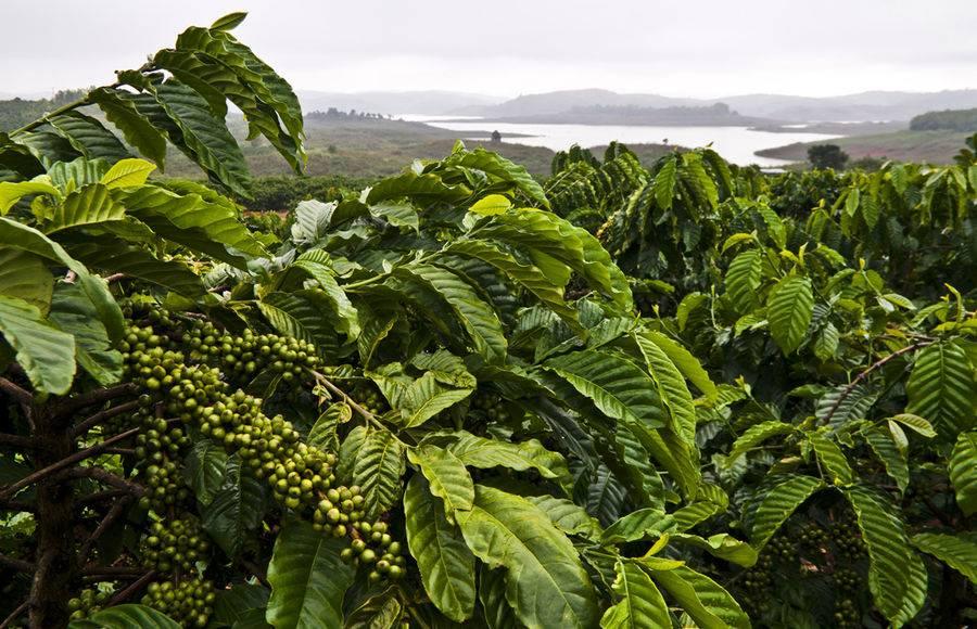 20 крупнейших стран-производителей кофе