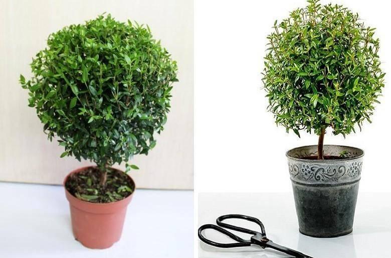 Мирт – растение, которое заменит вам многие лекарства. как приготовить лечебную настойку мирта
