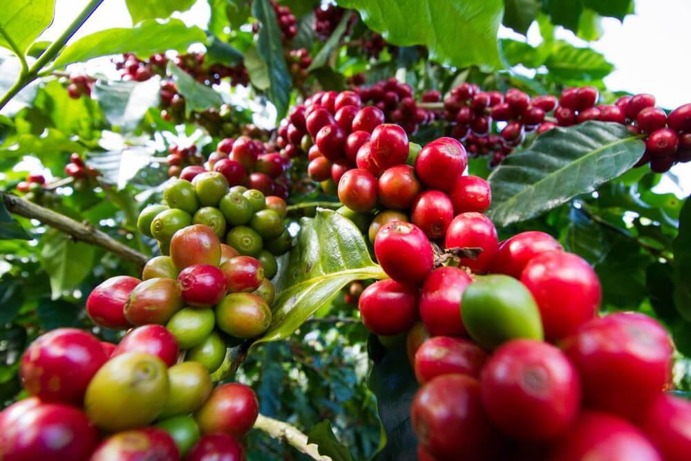 Кофе из эфиопии.