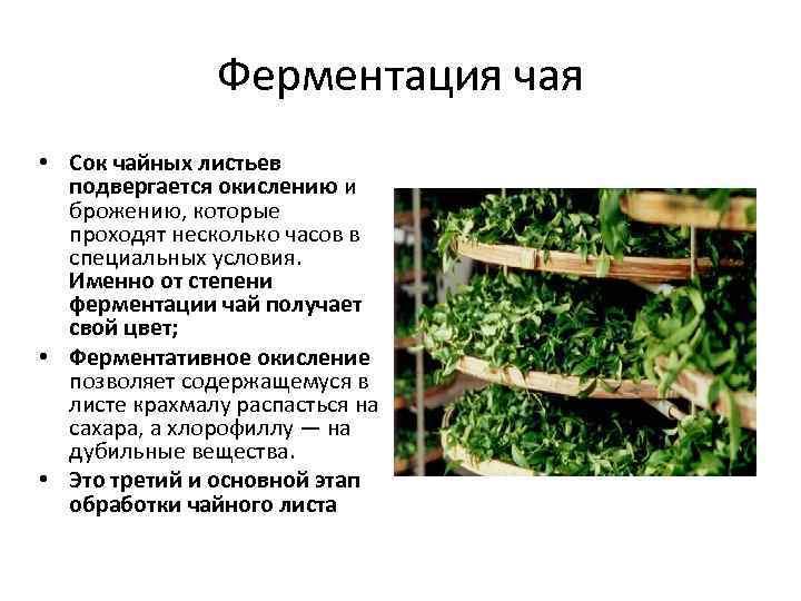 Ферментация чая, что это такое простым языком