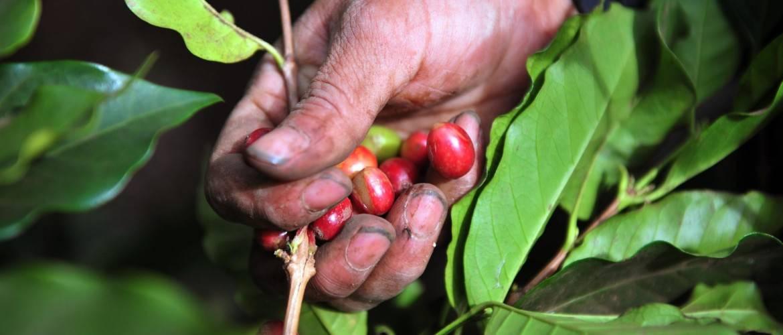 Кофе арабика - уход за растением в домашних условиях