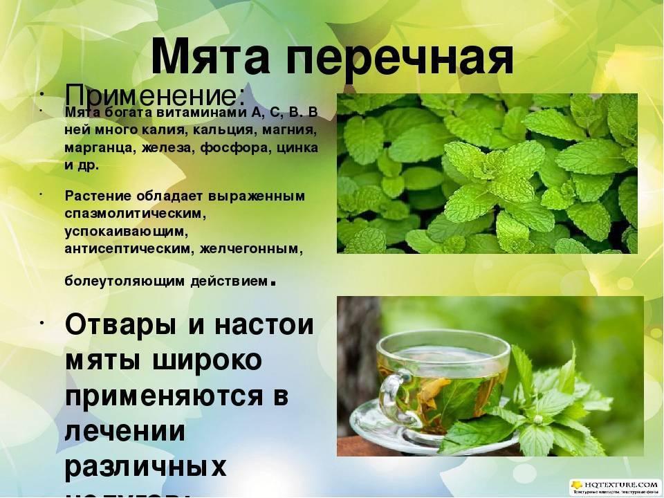 Лечебные свойства иван-чая и применение кипрея при лечении болезней