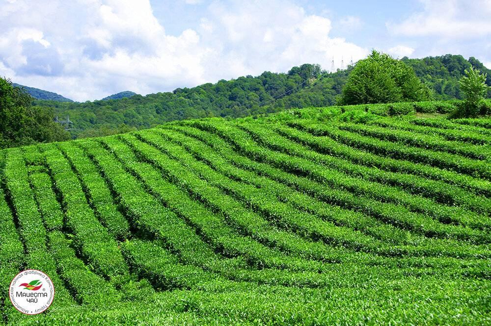 Как вырастить иван чай в краснодарском крае