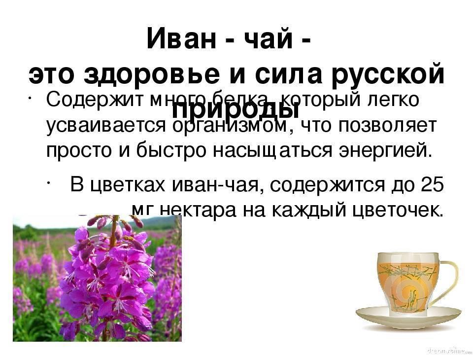 Трава иван-чай: польза и вред, рецепты для здоровья