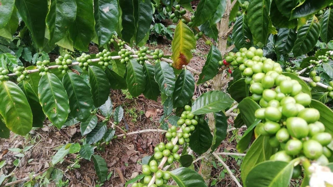 Характеристика кофе из малави