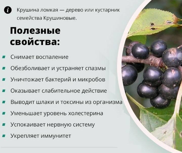Кора крушины - лечебные свойства и противопоказания, рецепты приготовления и применение отвара или экстракта