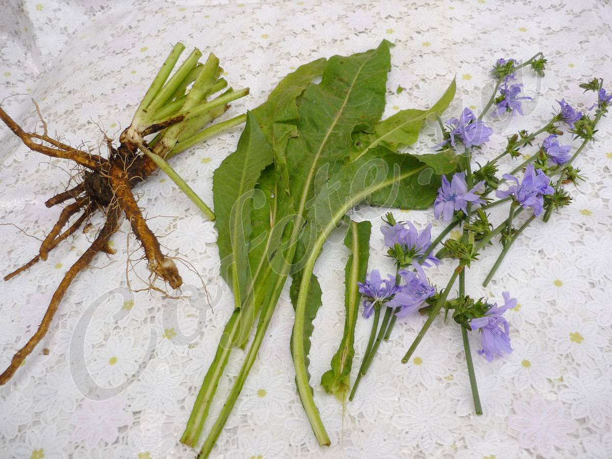 Когда собирать одуванчики + лечебные свойства цветков одуванчик
