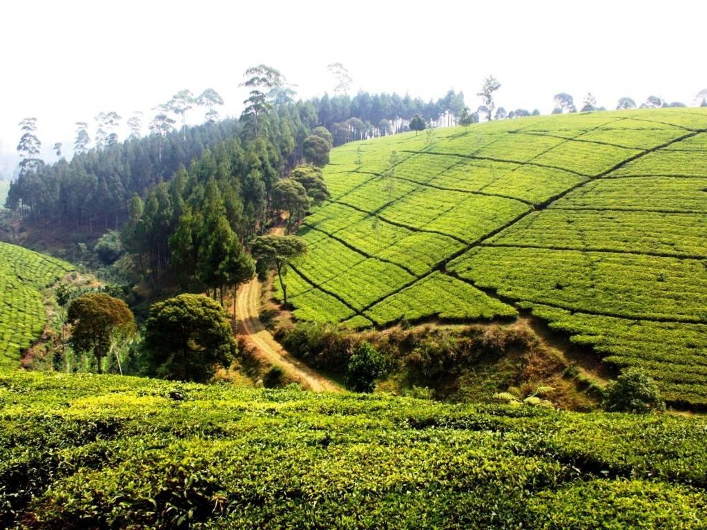 Плесень ипестициды: из каких стран привозят самый опасный чай