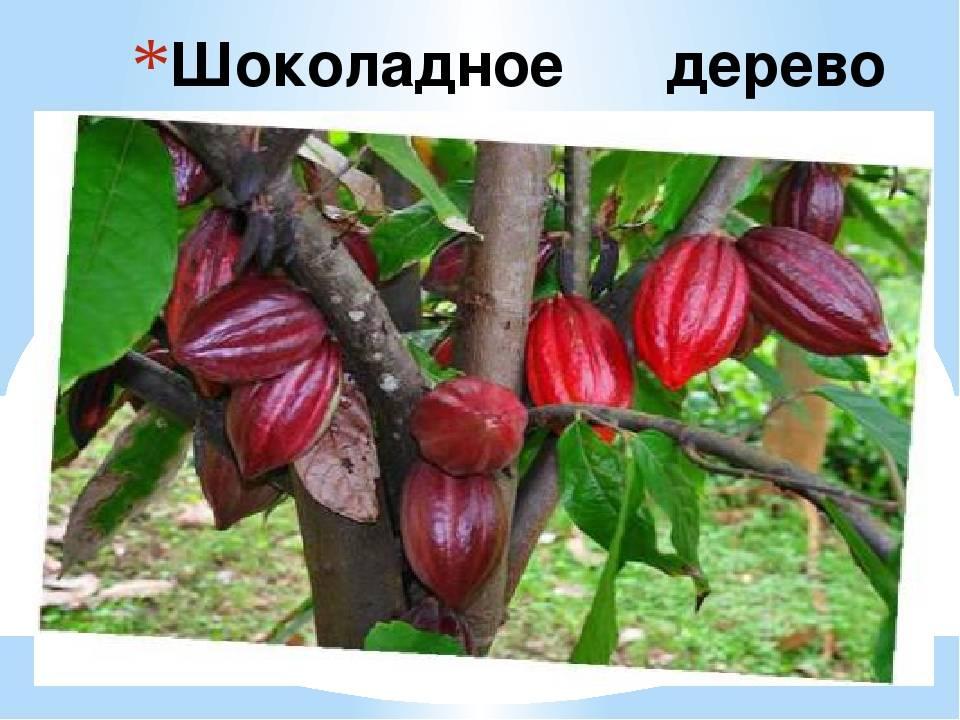 Где растут какао бобы? - производство какао