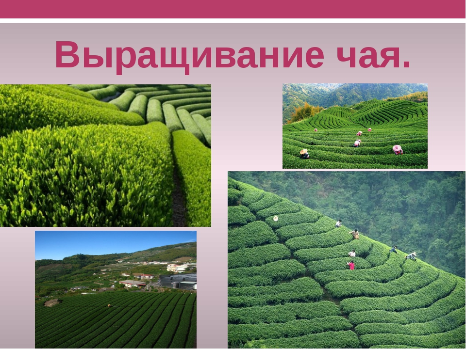 Лучшие сорта краснодарского чая