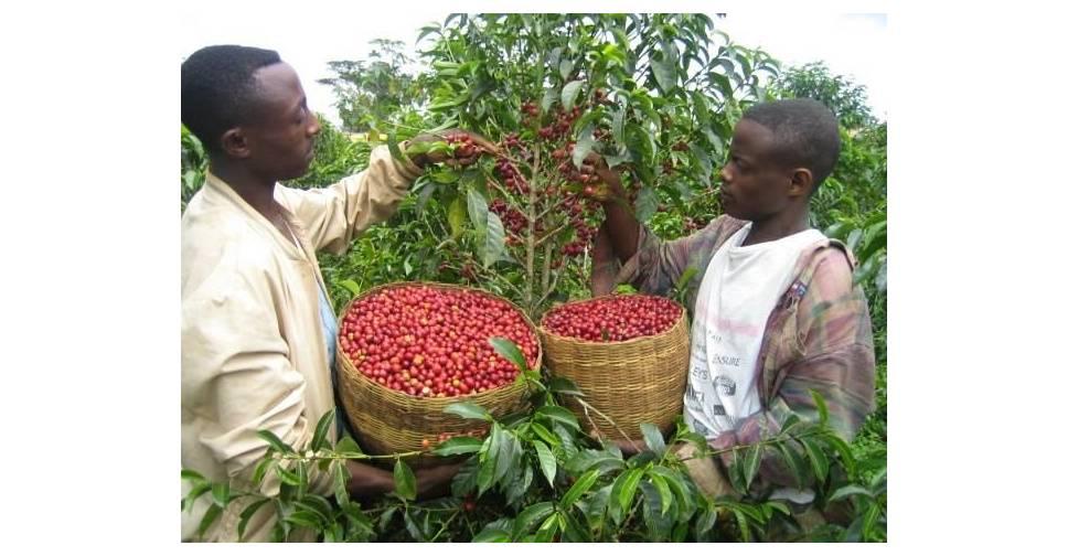 Где находится родина кофейного дерева