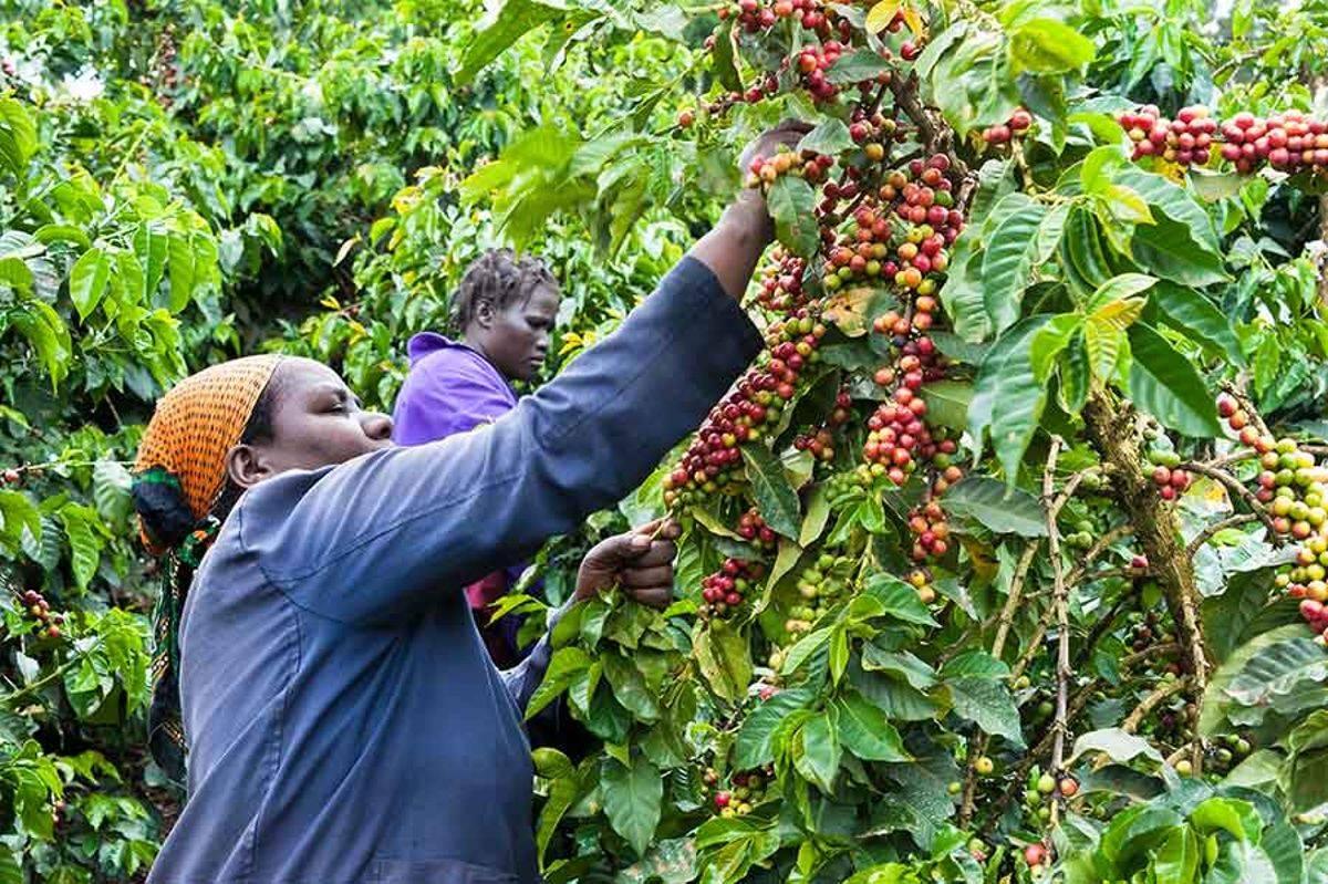 Как выращивают кофейные деревья и в каких странах они растут?