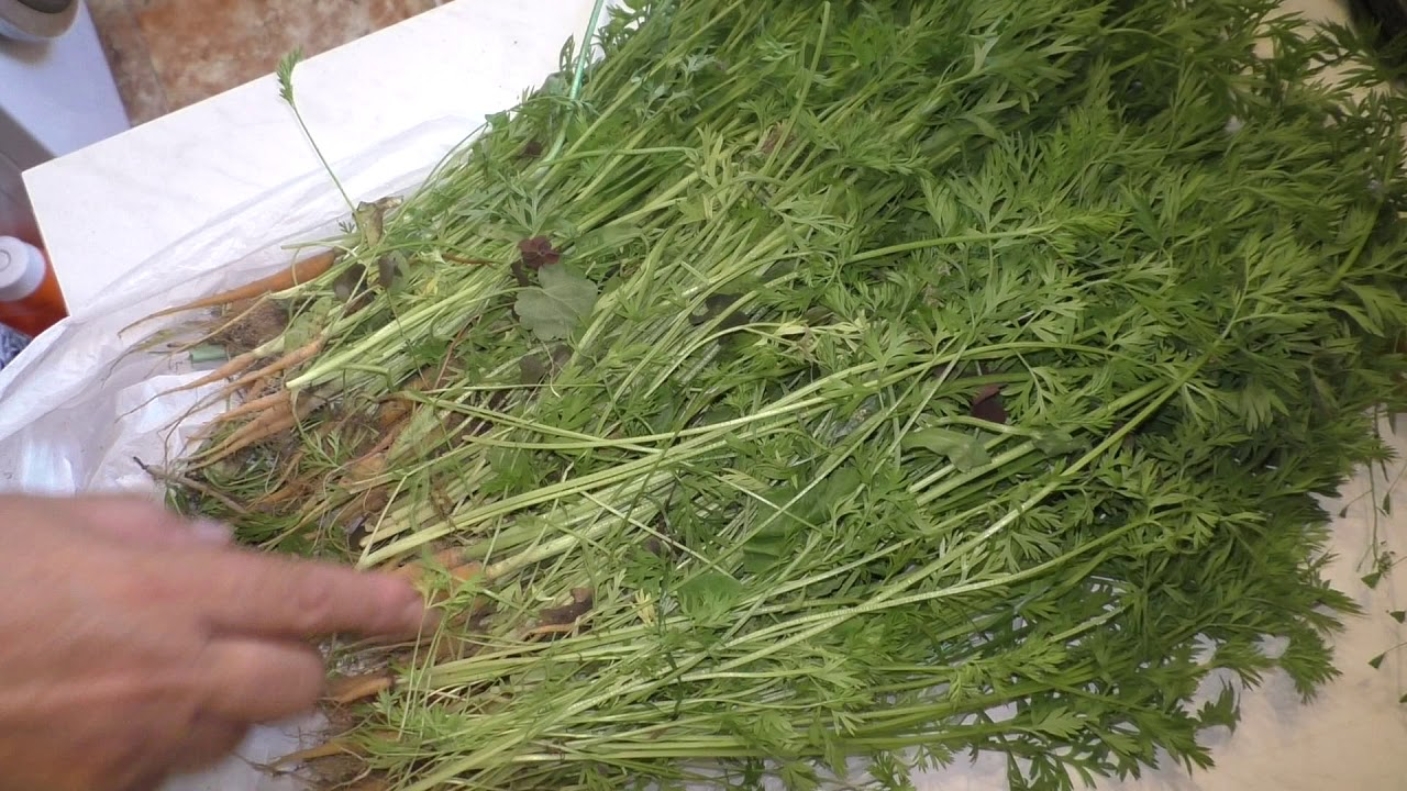 Польза и вред морковного чая для организма | польза и вред