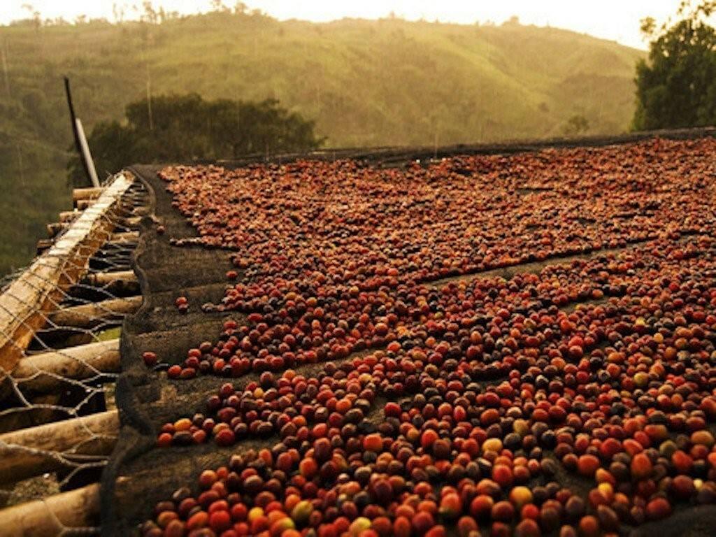 Как получают кофе и способы изготовления