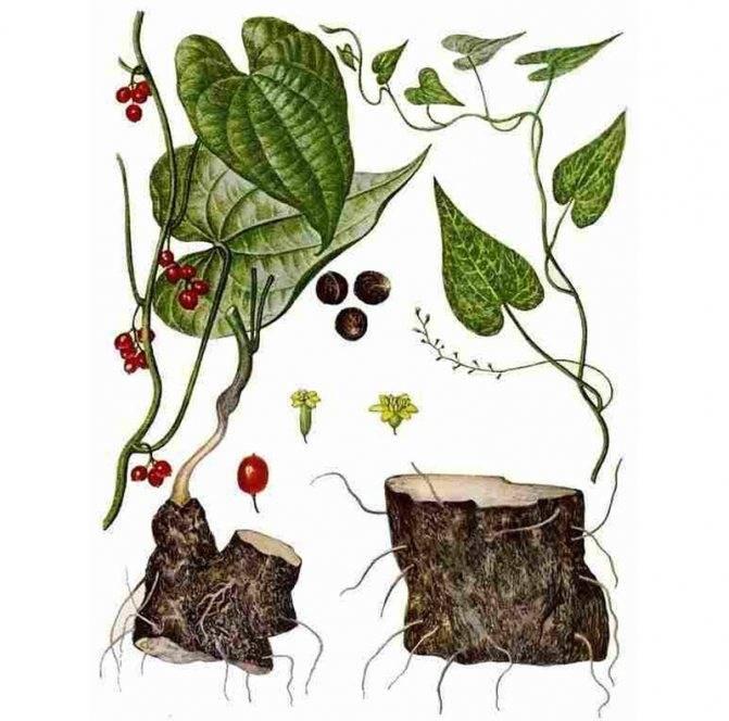 Адамов корень: целебные свойства и применение в народной медицине