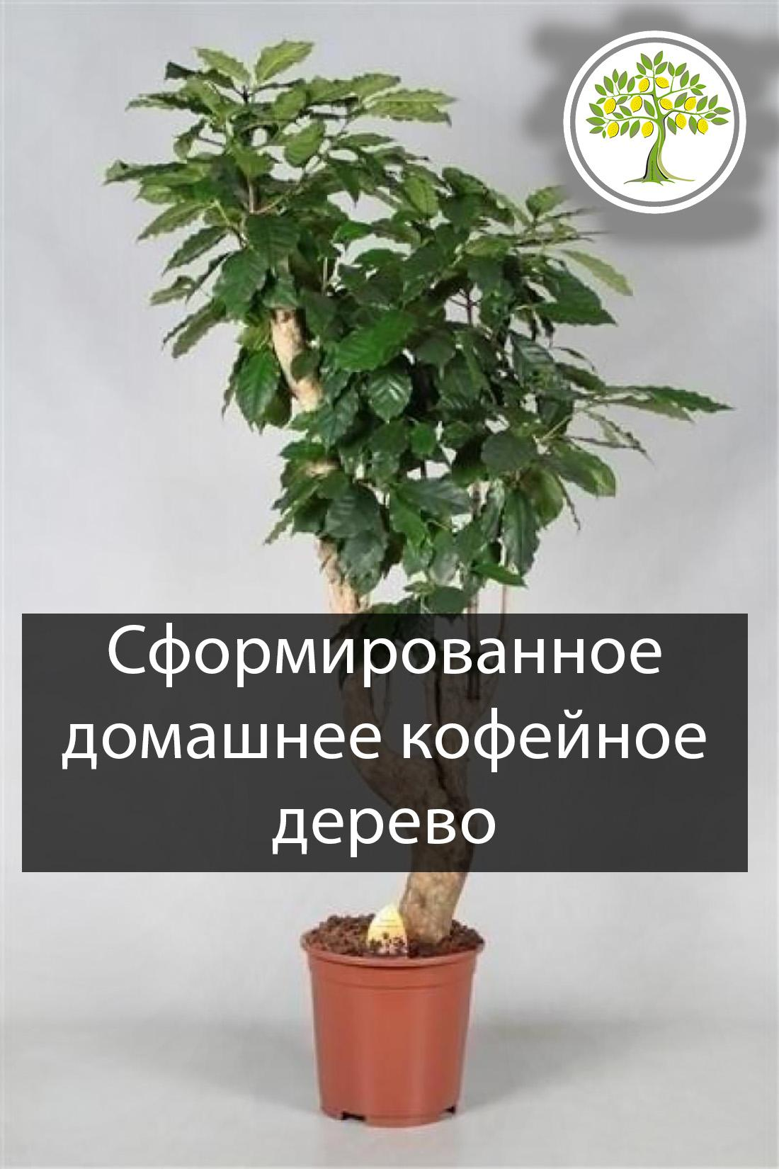 Кофейное дерево выращивание, уход, особенности, фото, видео. подробная инструкция по выращиванию в домашних условиях