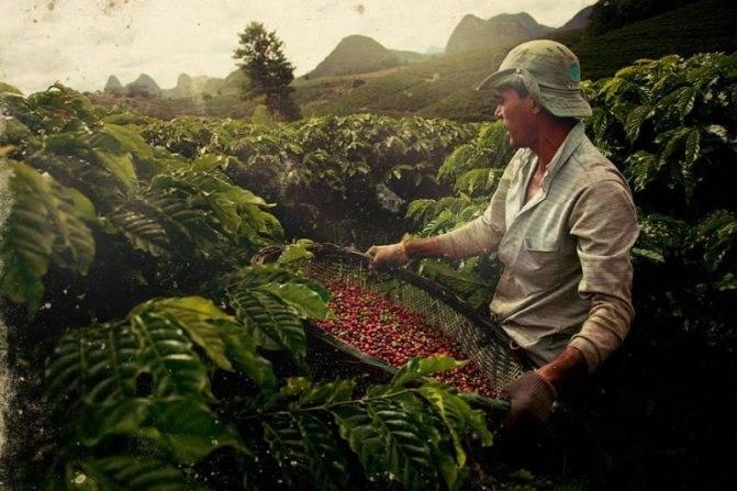 Колумбийский кофе | сорта кофе
