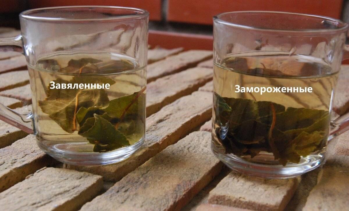 Чай из листьев черной смородины: рецепты заготовки и приготовления