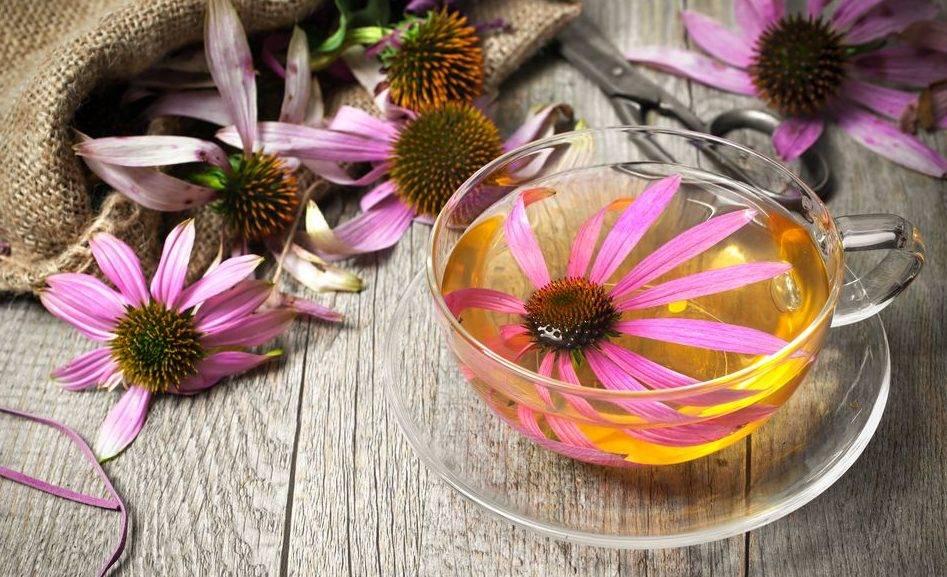 Лекарственная эхинацея. эхинацея пурпурная. выращивание, уход, свойства. — ботаничка.ru