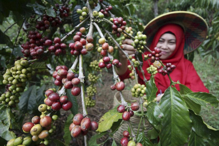 Сорта кофе лавацца