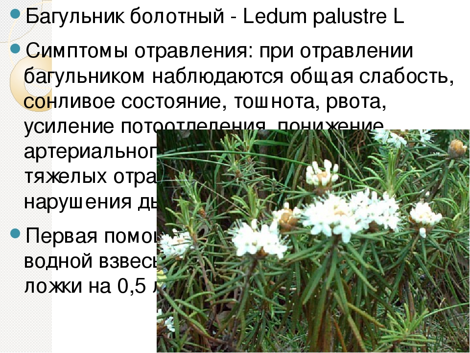 Применение травы багульника болотного в народной медицине: показания, рецепты лечения, как пить отвары и настои