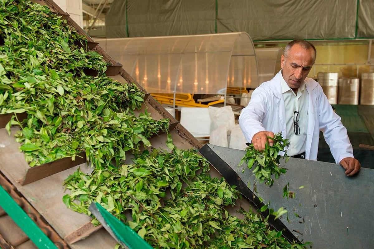 Изготовление чая в домашних условиях: чайный бизнес на иван-чае — как заработать: план для магазина, лавки женщине — profylady