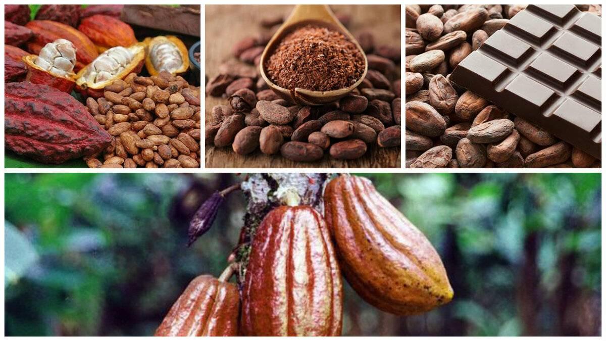 Какао-бобы: польза и вред для здоровья женщин и мужчин