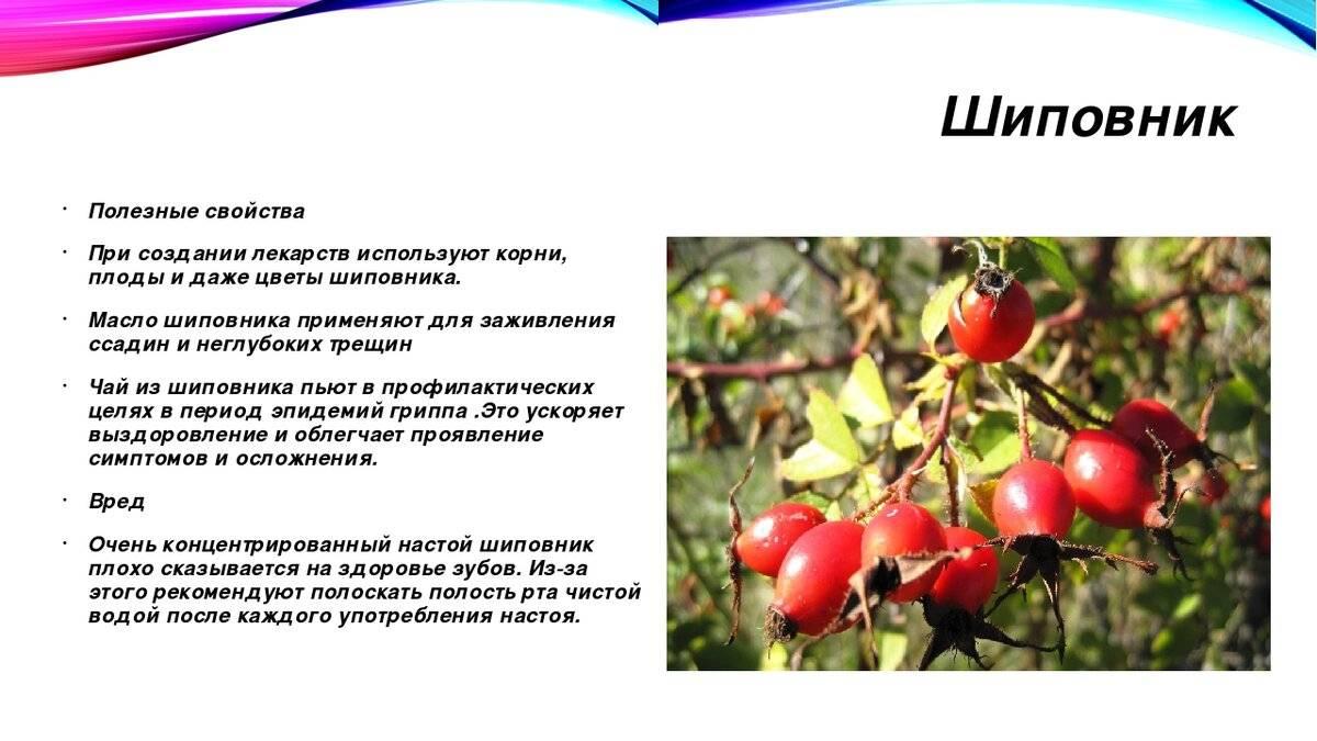 Польза корня шиповника и противопоказания, рецепты применения