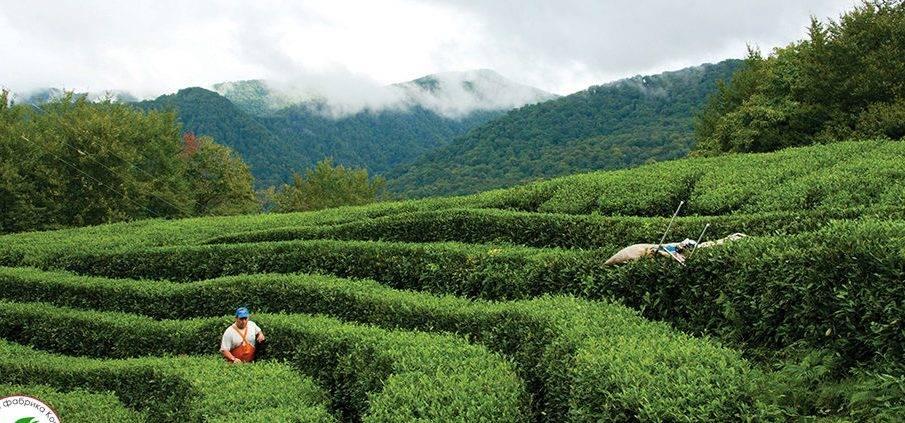 Краснодарский чай мацеста: мацестинская чайная фабрика