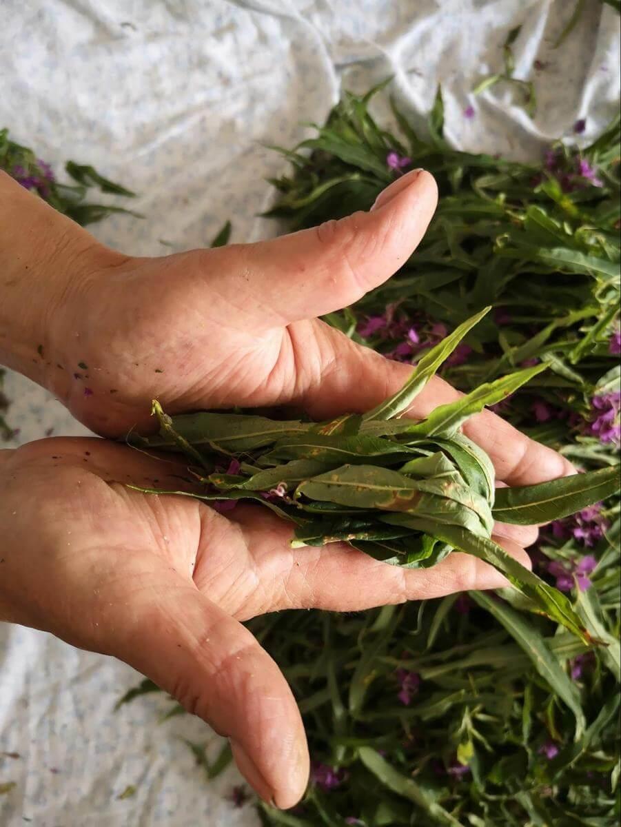 Иван-чай - как собирать и сушить, заготовка и ферментация в домашних условиях