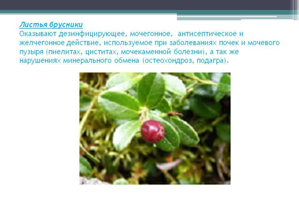 Полезные свойства и показания к применению чая и настойки из листьев брусники