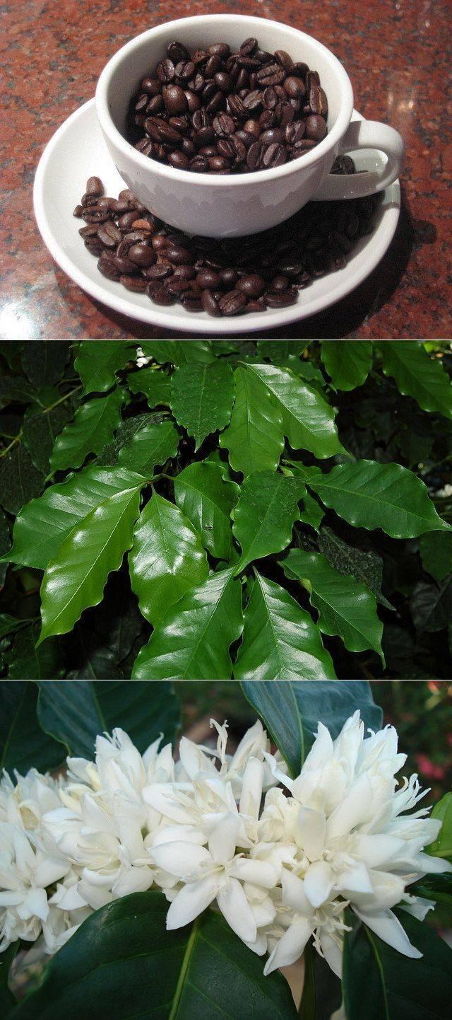 Как вырастить кофе в теплице в россии + фото
