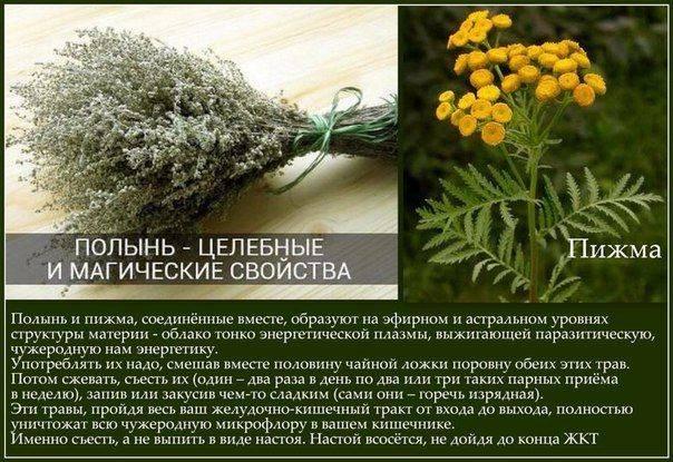 Полынь горькая (трава) - лечебное применение, польза, вред полыни
