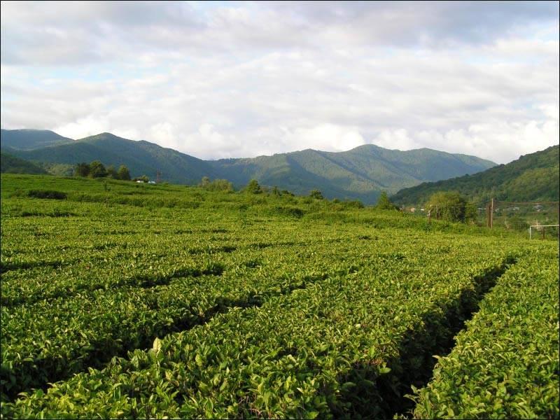 Краснодарский чай | teaterra