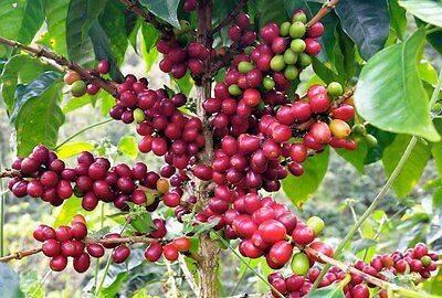 Характеристика сальвадорского кофе