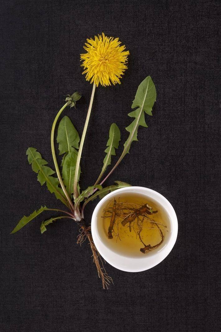 Чай из одуванчиков польза и вред как употреблять