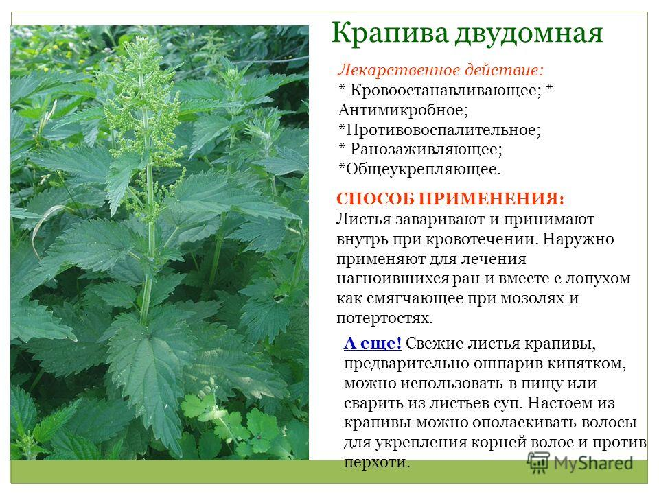 Лечебные свойства крапивы, методы применения и противопоказания   здорова и красива