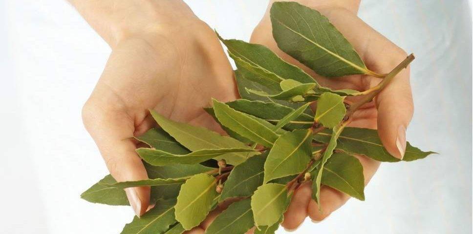 Лавровый лист – лечебные свойства и противопоказания