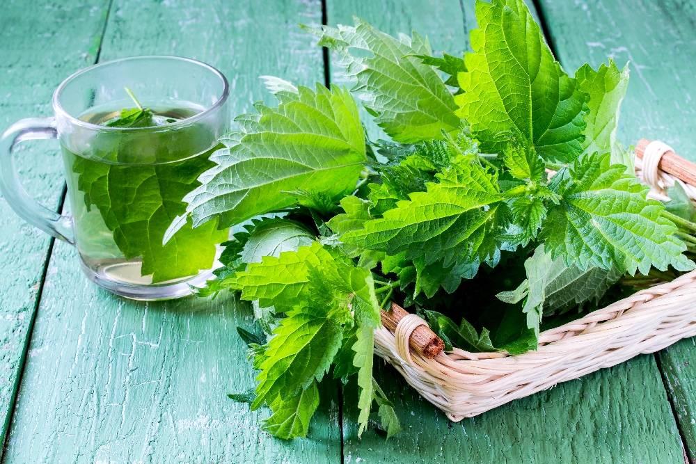 Чай из крапивы: польза и вред, как приготовить и пить