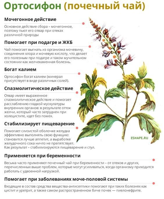 Почечный чай: полезные свойства и противопоказания к приему напитка