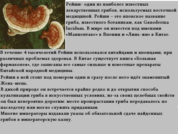Гриб рейши или линчжи (трутовик лакированный): лечебные свойства и противопоказания, как принимать