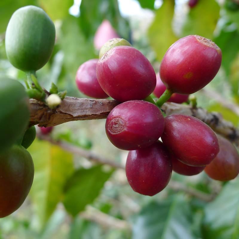 Характеристика тайского кофе