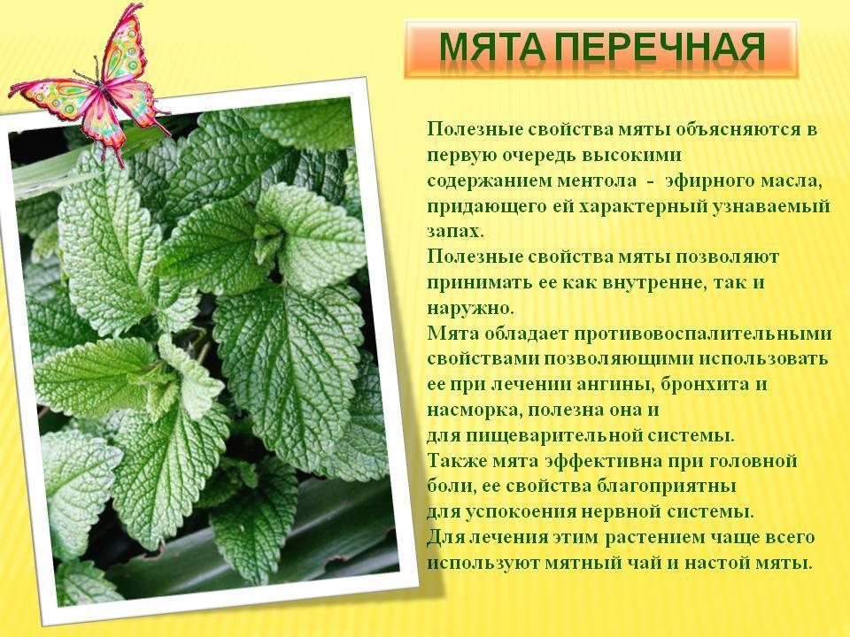 Мята при грудном вскармливании, чай с мятой: польза или вред