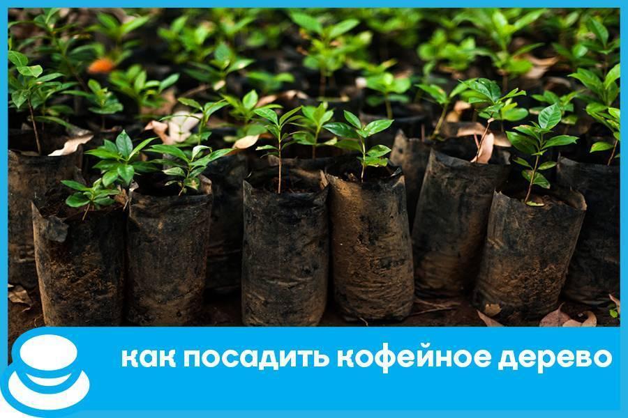 Записки цветовода: кофейное дерево. выращивание и уход в домашних условиях. фото — ботаничка.ru