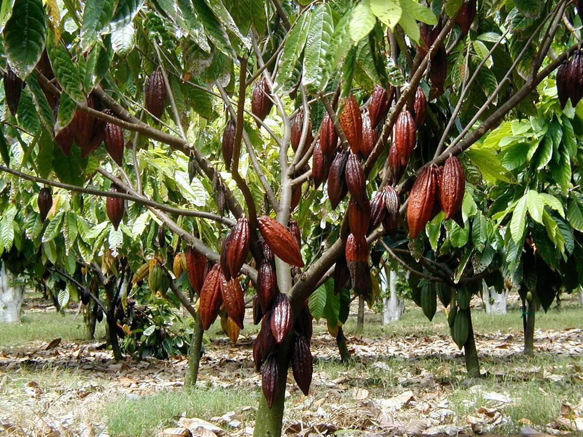 Какао-бобы: где растут, родина выращивания плодов, как выглядят, крупнейшие страны-производители
