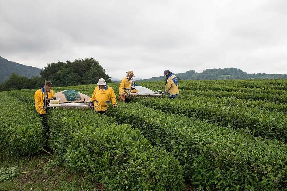 Краснодарский чай: чёрный и зеленый. история и современность