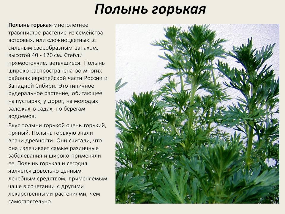 Полынь горькая - лечебные свойства и противопоказания, народные рецепты и показания