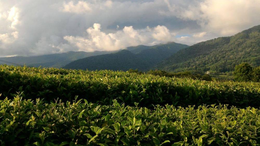 Краснодарский чай — википедия