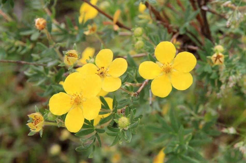 Курильский чай (39 фото): полезные свойства и противопоказания напитка, посадка и уход за кустарниковым растением, сорта с белыми и жёлтыми цветками